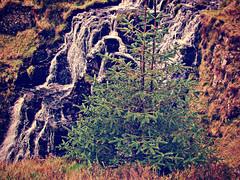 Carving a ravine (Dazzygidds) Tags: waterfall burn northernireland flowing colourful cascade spruce exposedrock ulster firtree countyantrim glensofantrim cargan glenariffforestpark antrimhills slievanee dungonnellway essnahohanburn
