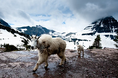 Mountain Goats on the cat walk. (Amicus Telemarkorum) Tags: snow storm clouds kid montana mother nanny july goats use glaciernationalpark babygoat loganpass jeffreyrueppelphotography summer2012 mountaingoatshiddenlake