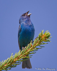 Indigo Bunting (claybuster1(doing good just very busy)) Tags: sc birds michigan indigo 2012 bunting indigobunting 72112