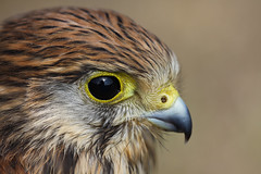 Dans l'oeil du faucon / In the eye of the falcon (Orpinbleu) Tags: macro bird eye corse oeil falcon kestrel profil oiseaux 2012 jeune rapacious rapace mfcc greatphotographers fauconcrcerelle juvnile diurne nationalgographic birdperfect onlythebestofnature orpinbleu freedomtosoarlevel1birdphotosonly freedomtosoarlevel2birdphotosonly