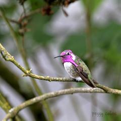 Costa's Hummingbird (Peggy Collins) Tags: hummingbird purple britishcolumbia violet gibsons pacificnorthwest sunshinecoast costashummingbird peggycollins picturesofhummingbirds hummingbirdpictures hummingbirdphotos hummingbirdphoto hummingbirdpicture hummingbirdgorget gibsonsbritishcolumbia