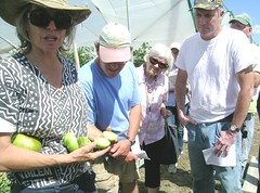 When to harvest green tomatoes (NOFA_NY) Tags: green tomato farm tomatoes hepworth harvesting ripeness