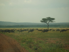 Wildebeest crossing a track (Real Africa) Tags: africa wild tanzania kenya running safari herd grazing wildebeest wildebeestmigration safarianimal migrationmasimara