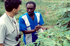 Cassava disease symptoms (IITA Image Library) Tags: cassava diseases symptoms manihotesculenta
