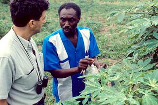 Cassava disease symptoms