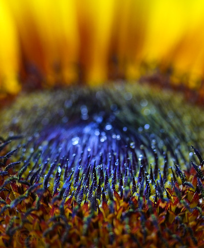sunflower dew