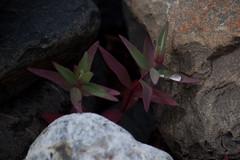 remainder (bysleightofhand1) Tags: park plant macro green beach look rock alaska leaf purple tide down glacier national shore kenai fjords aialik remainder