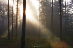 Breaking through (just.like.that.) Tags: morning trees wild nature pine forest sunrise dawn early moss woods sweden august smland fir sverige rays bog beams mosse wetland 2012 grassy morgon tidig solstrlar soonyouwonthavetogoupat430tomeetthesunrisethatsonegoodthingwithfall