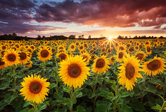 Sunshine (mibreit) Tags: light summer sun sunshine licht warm sommer sunflowers sunstar