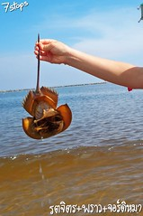 Male Actual Living Horseshoe Crab in Thai Ocean