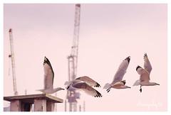 Seagull trippin (STUDIOTREDICI) Tags: torino andrea seagull vertone pentaxk5 studiotredici
