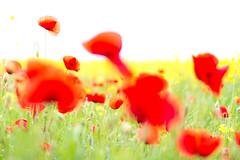 PoppySplash (SylvainMestre) Tags: france poppy poppies splash fr bron coquelicot auvergnerhnealpes