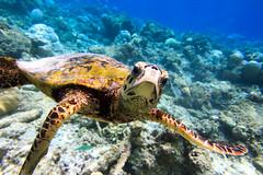 Turtle (Ben Yi) Tags: light underwater turtle schildkrte unterwasser ewamarine