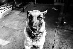 H E R O (wildbam25) Tags: bw dog white black animal shepherd hund weiss malinois schwarz tier schferhund weis graustufen schwarzweis belgischer