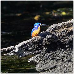 Azure Kingfisher (Ross_M) Tags: birds australia queensland australianbirds alcedinidae azurekingfisher coraciiformes ceyxazureus jimnanationalpark peachtreescampsite