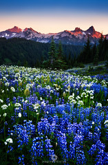 Showtime Surprise! (Mohanram Sathyanarayanan) Tags: seattle flowers blue sunset mountains nature colors washington nationalpark spring paradise trails alpine ranges mountrainier wildflowers peaks upclose alpenglow lupines tatoosh