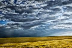 wheat fields & stormy weather (TheOtherPerspective78) Tags: sky sun sunshine rain clouds canon landscape evening abend wheat felder dramatic himmel wolken stormy rainy fields rays landschaft sonne niedersterreich regen sonnenstrahlen getreide loweraustria weizen ef24105l theotherperspective78
