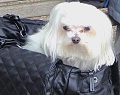 In the Bag . (ikan1711) Tags: park dog dogs animals bench smalldogs bags parkbench benches domesticanimals ambleside animalsbirds allanimals cuteanimals smallanimals localpark parkscenes