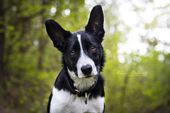 My puppy, Flint! 5 months old. (Marie Balstad) Tags: light blackandwhite cute green beautiful beauty canon puppy outside outdoors blackwhite collie 5 ngc border 7d months booked
