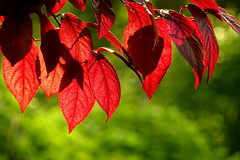 Red leaves (Luminita Lidia Boldoi) Tags: red green nature leaf spring