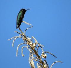 Just resting - Hummingbird, Molino Basin, Tucson, March 2016 (Judith B. Gandy) Tags: arizona birds tucson aves hummingbirds molinobasin