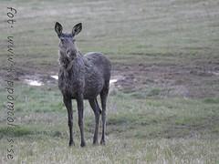 20160506093438 (koppomcolors) Tags: sweden moose sverige scandinavia vrmland lg koppomcolors