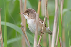 Reed Warbler, RPSB Blacktoft Sands (JR Studio) Tags: bird river yorkshire trent ouse eurasian humber wetland reedbed ynu eastyorkshire blacktoftsands acrocephalus scirpaceus rpsb