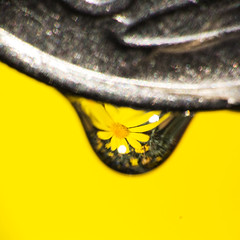 Smaller than a coin (LSydney) Tags: flower macro coin waterdrop droplet macromondays smallerthanacoin