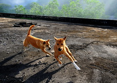 ,, The Dog Palace Roof ,, (Jon in Thailand) Tags: roof dog playing dogs fun nose happy nikon shadows tail rocky ears running mama jungle nikkor whitesox hipshot chasing k9 d300 happydogs 175528 littledoglaughedstories thedogpalace