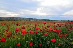 SE VAN MARCHITANDO  !!!! (6toros6) Tags: naturaleza flores color verde primavera luz nikon paisaje cielo alfredo campo juego navarra tierra aficionados peralta d7100 flickr12days
