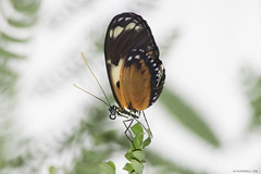 Butterfly 2016-60 (michaelramsdell1967) Tags: white plant color macro green love beautiful beauty animal animals closeup butterfly bug garden insect photography hope spring nikon natural vibrant wildlife butterflies vivid insects zen delicate upclose mariposa