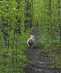 Still Walking (cjh44) Tags: dog ontario kingston chow dogpark tobias chowchow