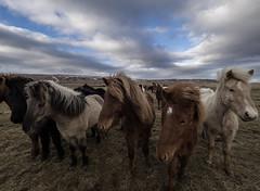Winter is...finishing. (NأT) Tags: winter horses horse animal landscape iceland paysage icelandic tolt faune poney poneys tölt islandais islandaise