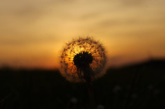 Sunset Flower (Josua Arzensek) Tags: light sunset red summer sky flower beautiful night germany nacht bokeh outdoor happiness