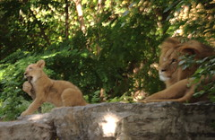 Toby and Dad (Jay Costello) Tags: africa toby cat cub feline lion hunter simba predator lioncub babylion animalbabby