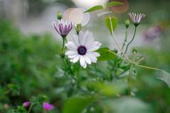 Carl Zeiss Jena Prakticar MC 50mm ƒ/1.4 (::nicolas ferrand simonnot::) Tags: paris flower zeiss 50mm bokeh jena mount mc carl sreet praktica | 2016 prakticar ƒ14