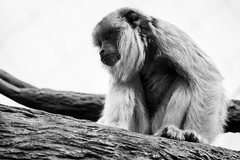 (Pablo__R) Tags: wild nature naturaleza temaiken ape simio mono monkey