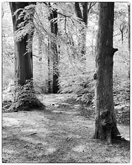 Gaps BW (JodBart) Tags: haigh plantations woods trees sunlight green shadows trunks blackandwhite