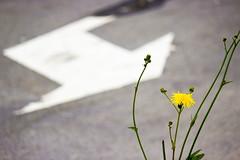 Inge Hoogendoorn (ingehoogendoorn) Tags: street flowers flower yellow composition dandelion depthoffield arrow asphalt trafficsign geel trafficsigns forcedperspective bloemen dandelions bloem shallowdepthoffield straat asfalt pijl paardebloem paardebloemen paardenbloem paardenbloemen compositie scherptediepe