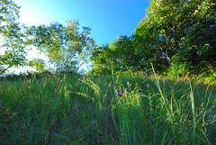 Dry Prairie (wackybadger) Tags: flower wisconsin nikon purple prairie slope nikond60 purpleprairieclover daleapurpurea lacrossecounty wisconsinstateforest wisconsinstatenaturalarea sigma1020mmf4exdchsm bergprairiebillygoatridgesna sna596 couleeexperimentalstateforest