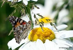 Distelvlinder (Vanessa cardui) (ditmaliepaard) Tags: flower sony buterfly vlinder bloem distelvlinder margriet vanessacardui a6000