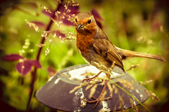 Feast (EugeneKup) Tags: bird insect eat food cruel cruelworld nature outdoor outside robin europeanrobin