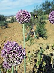 Abejorro IMG185535 01 (fjguerragi) Tags: naturaleza pueblo campo abeja malaga pecho ajo abejorro tolox