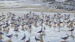 Chroicocephalus novaehollandiae_3 (Tony Markham) Tags: bird waves seagull gull northbeach seabird wollongong illawarra northwollongong silvergull chroicocephalusnovaehollandiae