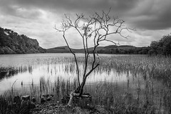 Reaching skyward (Phil_Moore) Tags: trees light summer sky cloud sun white lake tree water monochrome beautiful beauty clouds reeds dark rocks mood moody dramatic northumberland lonely solitary 500px ifttt