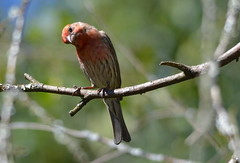 You Lookin' At Me?? (Neal D) Tags: bird bc richmond finch housefinch carpodacusmexicanus richmondnaturepark