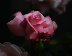 Hybrid Tea Rose Spring 2016 (neggatiff) Tags: newzealand rose tea rosa adapter hybrid aromatic varietal fdeos canon5dmk2 canonzoomlensfd2885mmf4 img2016060703518c