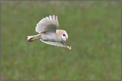 Barn Owl (image 2 of 2) (Full Moon Images) Tags: bird nature barn flying wildlife bcn flight reserve national owl trust prey fen cambridgeshire birdofprey woodwalton nnr greatfen
