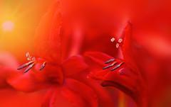 Looking in the Same Direction (charhedman) Tags: light red flower macro bokeh stamens crocosmialucifer