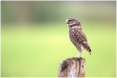 Little owl - Steenuil (Athene noctua) (Martha de Jong-Lantink) Tags: belgi kalmthout 2016 littleowl athenenoctua steenuil fotohut steenuiltje steenuiltjes vogelhut4 glennvermeersch fotohutglennvermeerschkalmthout